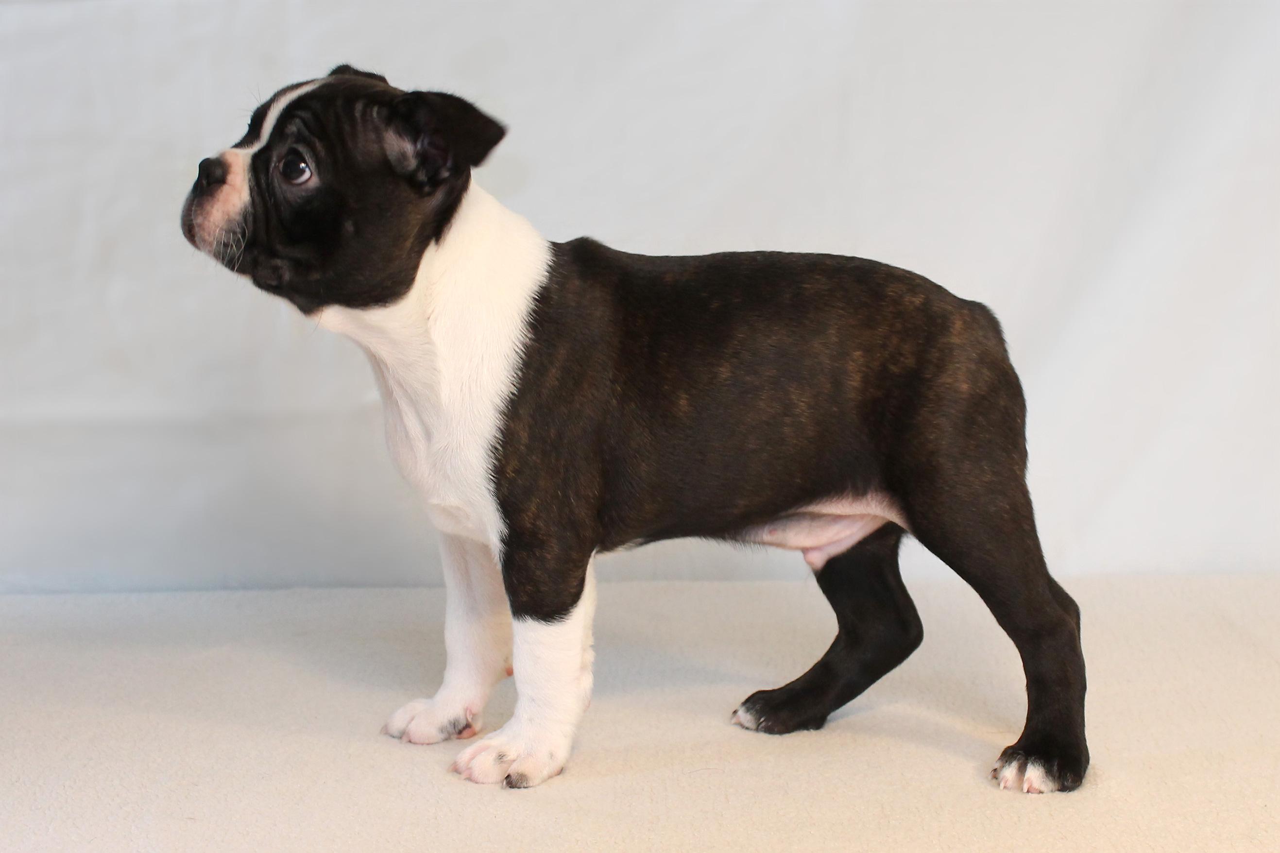 Boston Terrier hvalpe ...